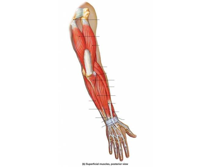 Muscles of the Posterior Arm - PurposeGames