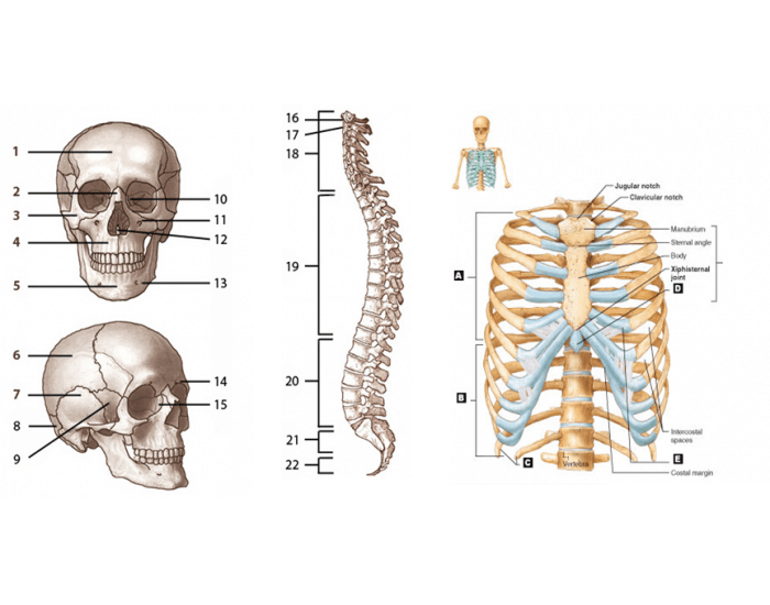 Axial Skeleton Labeling - PurposeGames