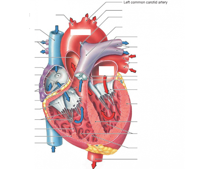The Sectional Anatomy of the Heart - PurposeGames