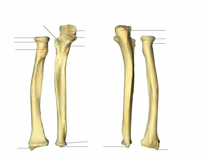 Ulna and Radius in Latin - PurposeGames