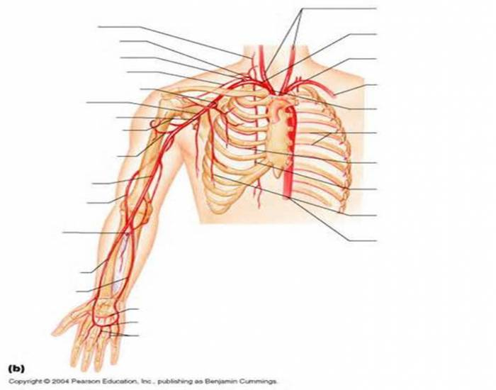 Arteries of the right upper limb and thorax - PurposeGames
