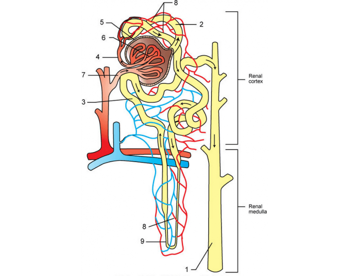 The Nephron  Basic Functional Unit Of Kidney