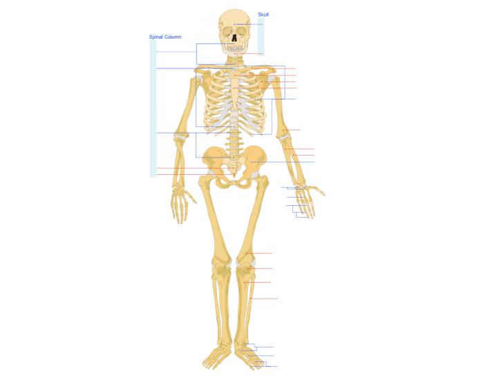 Human Skeleton - Front View