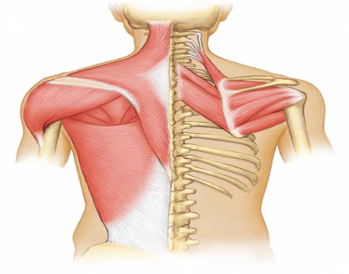 Ths Anatomy Muscles That Move The Pectoral Girdle Purposegames