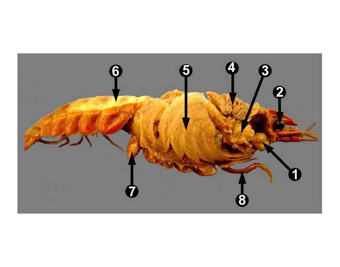 Game Statistics - Crayfish Internal Anatomy - PurposeGames