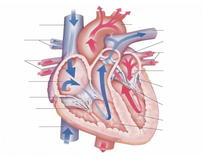 The blood flow through the heart purposegames ccuart Images