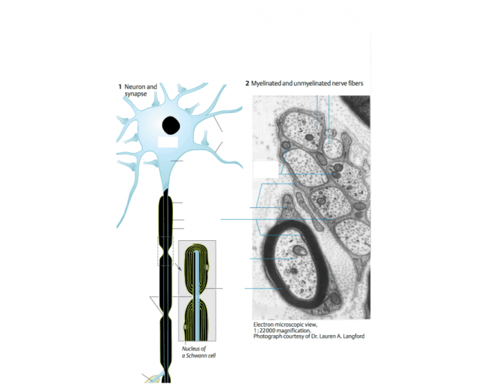 Nerve Cell Structure & Function