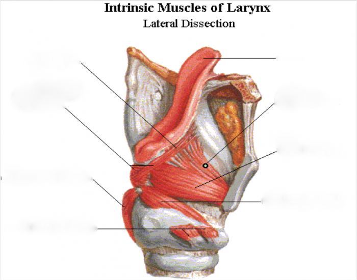 Images of Larynx Muscle Quiz - #rock-cafe