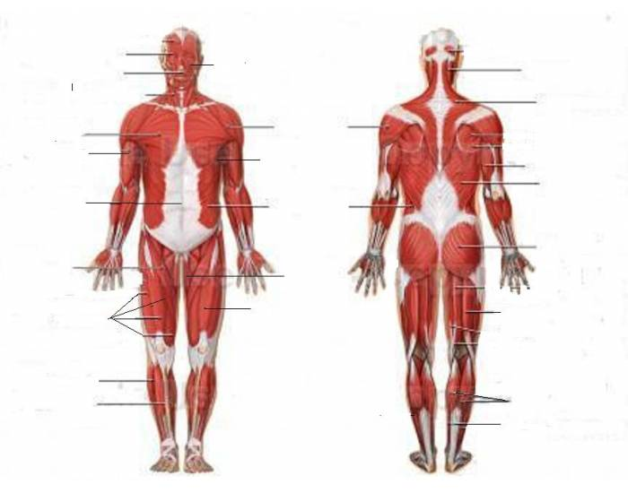 Human Muscular System Purposegames