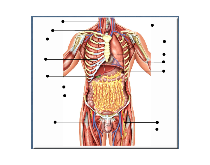 Anatomy At The Level Of The Rib Cage And Greater Omentum Ma