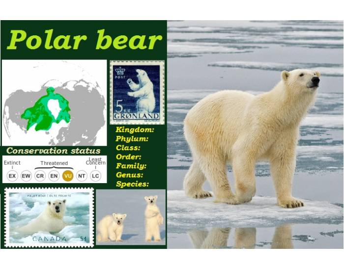 polar bear report essay Report writing service bears facts and information biology essay print and its larger populations such as the kodiak bear match the polar bear as the largest.
