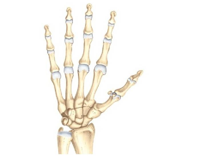 Anterior View Of The Right Hand