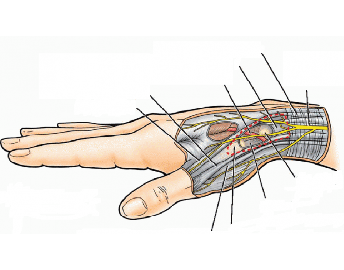 Anatomical Snuff Box Extensor carpi radialis at palmar. purpose games