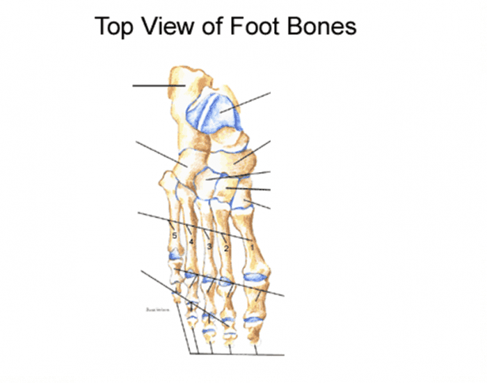 Bones in Human Foot - PurposeGames