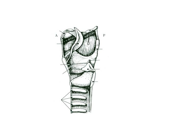 Laryngeal Structures