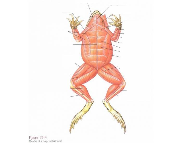 Frog Muscles Ventral Leg Frog Muscle Id Ventral