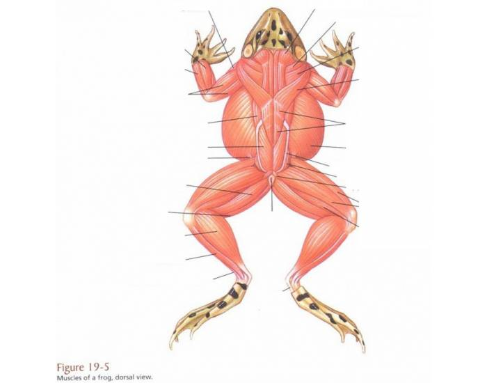 Frog Muscle Id Dorsal