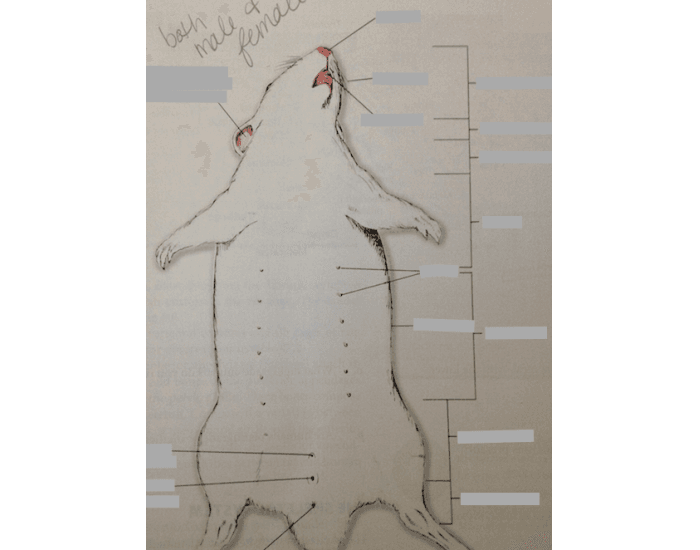 Game Statistics - external anatomy of female rat - PurposeGames