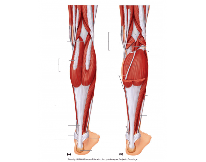 Game to learn muscles of the leg