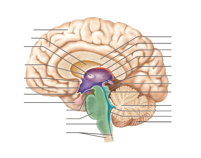 an analysis of the brain melatonin and the pineal gland The pineal gland is a small endocrine gland in the brain of animals with backbonesthe pineal gland produces melatonin, a serotonin-derived hormone which modulates sleep patterns in both circadian and seasonal cycles.