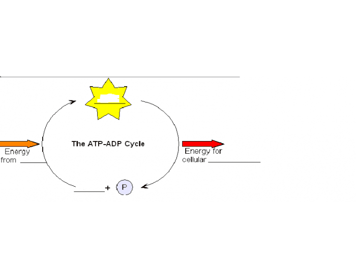 ATP And ADP Cycle