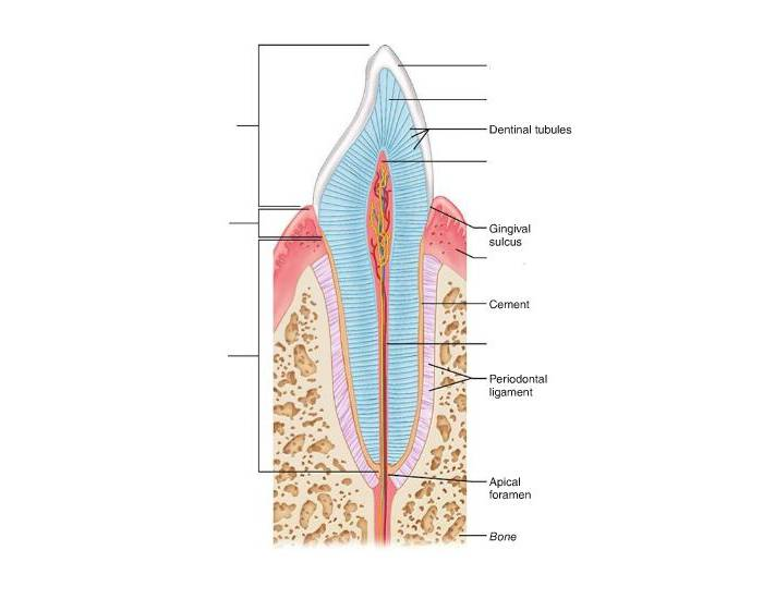 Longitudinal section of canine tooth purposegames ccuart Images