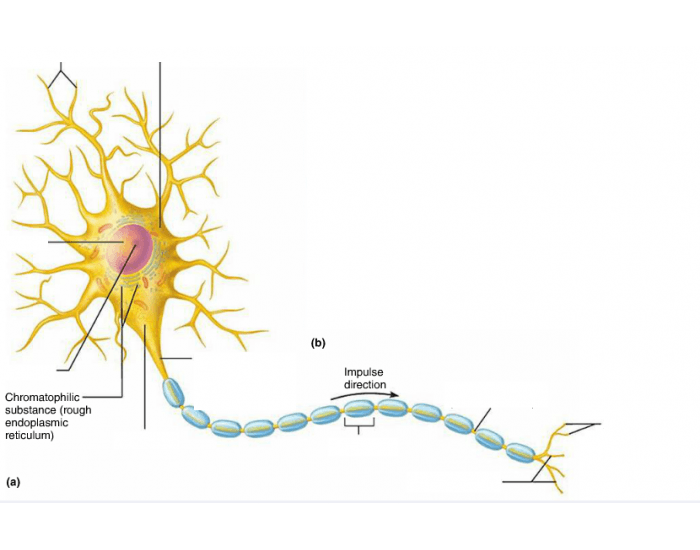 Structure of a motor neuron purposegames ccuart Images