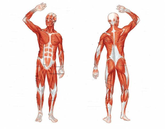 the human muscular system Human skeleton from the posterior and anterior view - didactic board of anatomy of human bony and muscular system leg muscles, human body, anatomy, muscle system 3d rendering the human muscular system vector illustration, front and rear view.