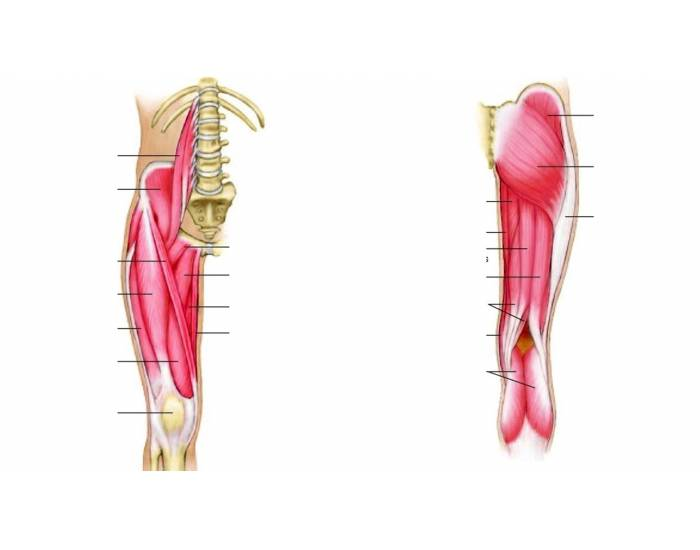 Leg And Hip Muscle Quiz