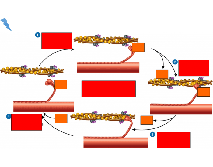 Muscle Contraction Cycle
