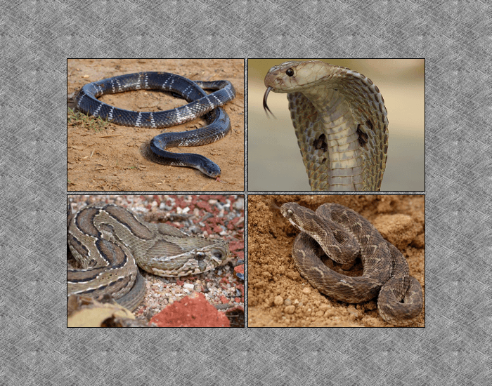 The Big Four Snakes of India