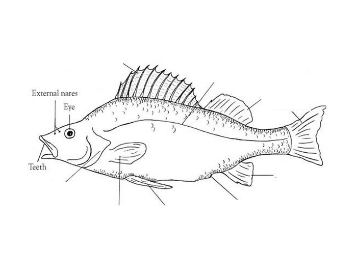 Perch Anatomy (external) - PurposeGames