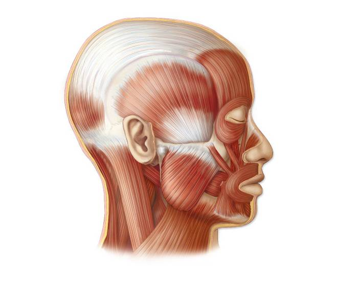 Game Statistics Muscles Of Face Lateral View Purposegames