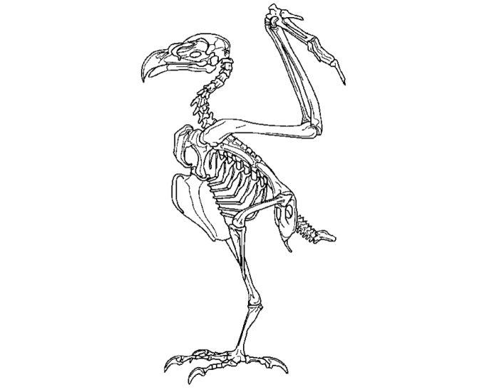 Avian Skeleton