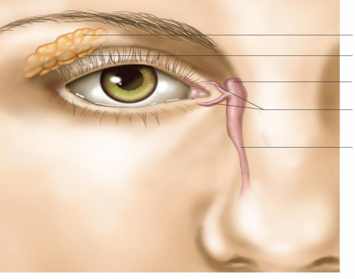 Accessory Structures of the Eye 3