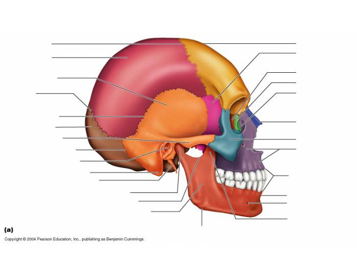 Game Statistics Axial Skeleton The Skull Sutures Fontanels