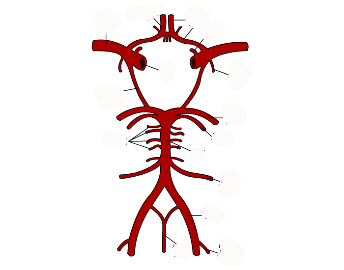 Arteries of the Base of the Brain