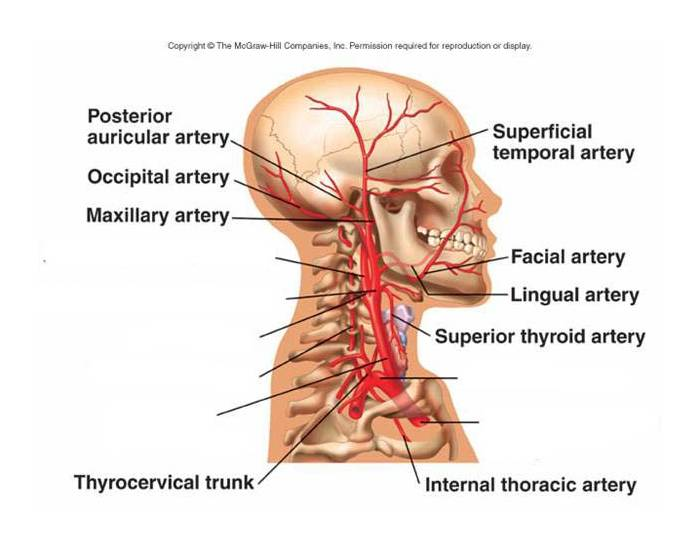 Major Arteries of the Head and Neck