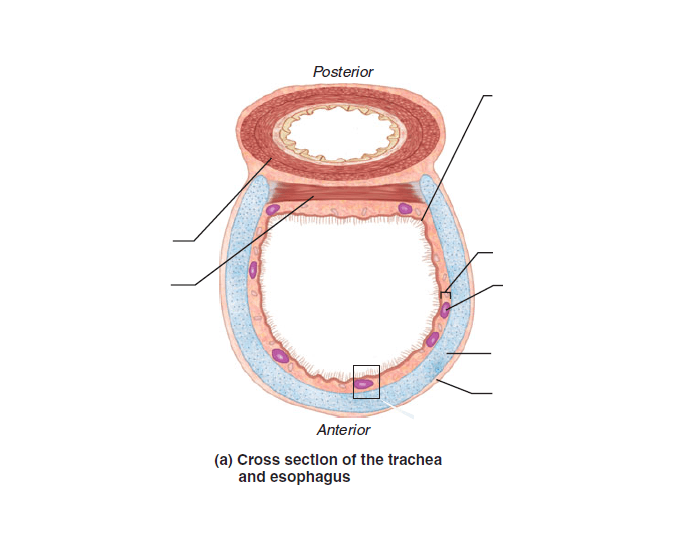 Cross Section Of The Trachea And Esophagus