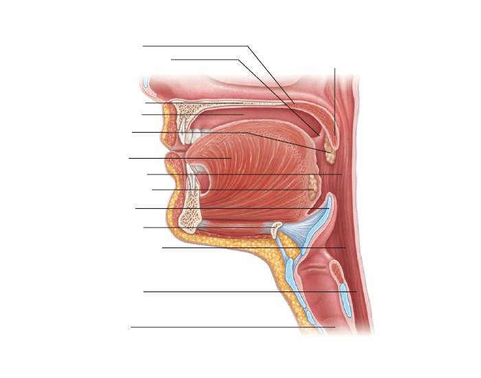 Sagittal Section Of The Oral Cavity And Pharynx Purposegames