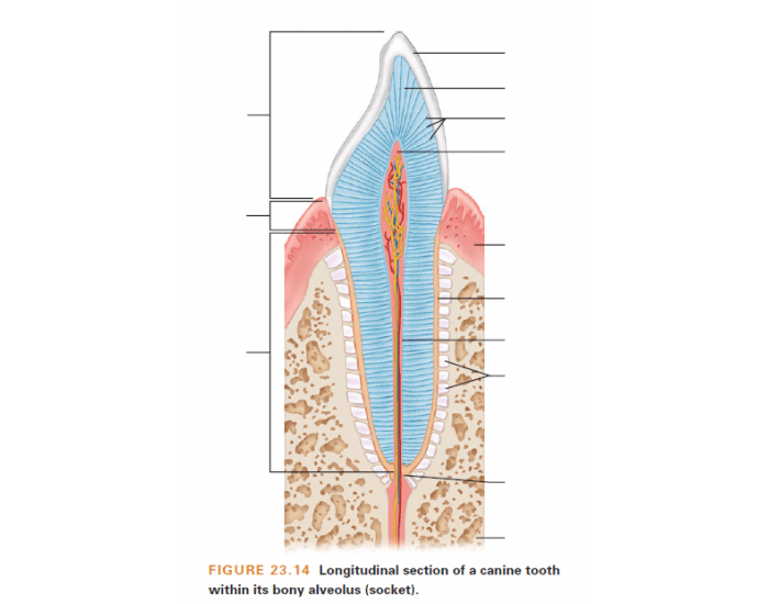 Longitudinal Section of a Canine Tooth with Alveolus - PurposeGames