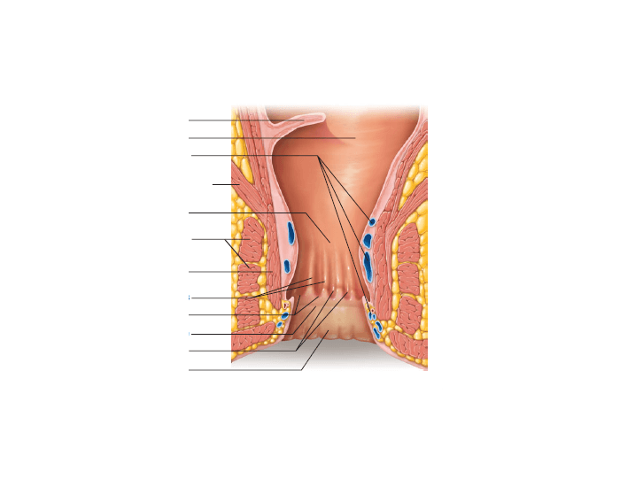 Game Statistics Inferior Rectum And Anal Canal Frontal Section