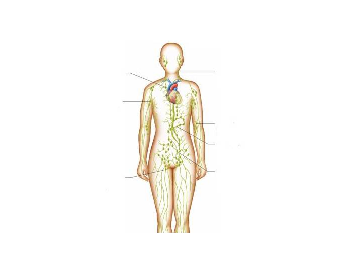 location of lymph nodes - 700×550