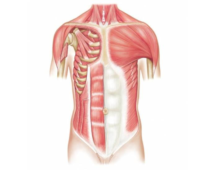 Luthy - Muscles Anterior Torso