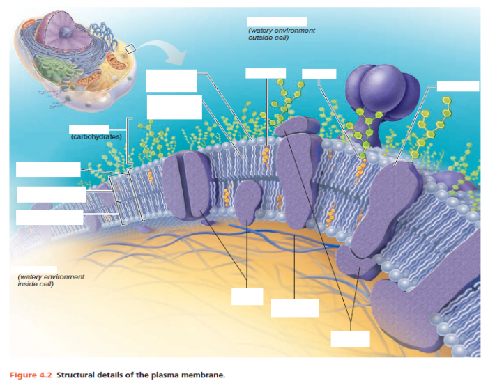 projections of the plasma membrane Or plasma, membrane enclosed by that , or plasma, membrane - encloses every human cell structure - 2 primary flagella & cilia - hair-like projections.