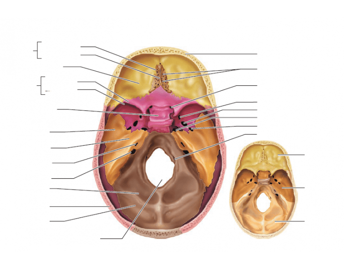 Internal Anatomy Of The Inferior Portion Of The Skull