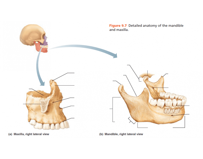 Detailed Anatomy Of The Mandible And Maxilla Purposegames