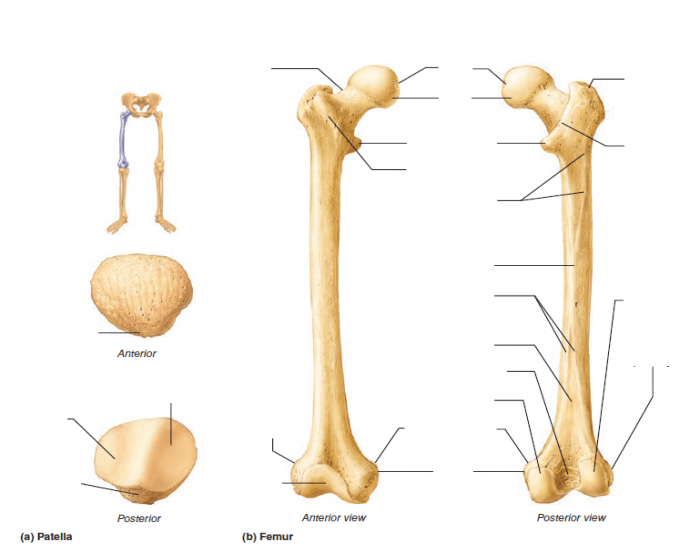 patella and femur - purposegames knee femur diagram