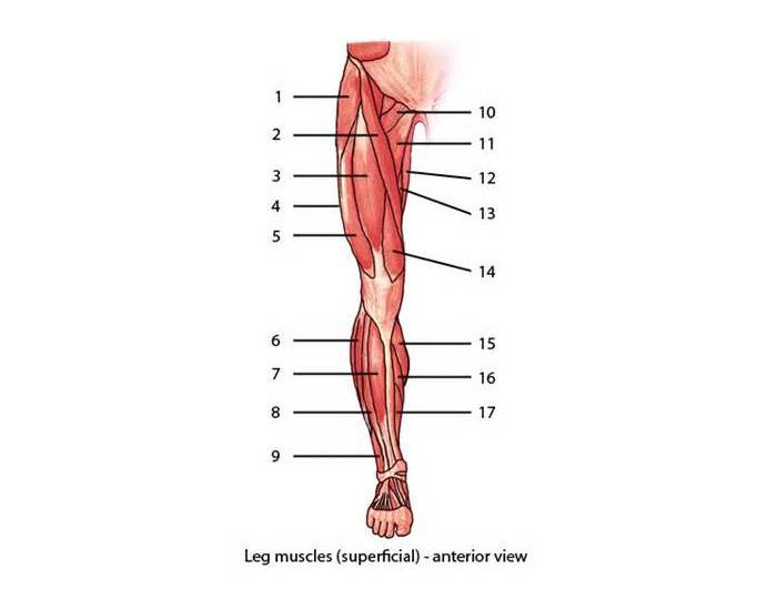 Muscles anatomy game