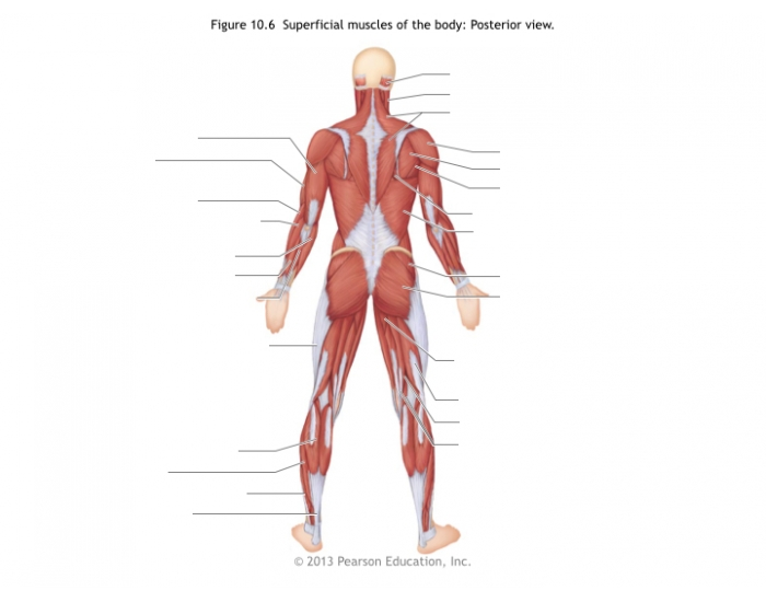 Superficial Muscles Of The Body Posterior View